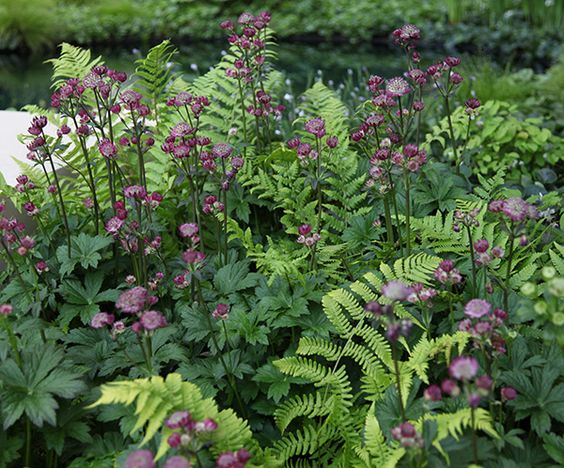 dryopteris-and-astrantia